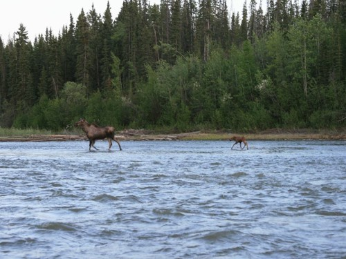 Gulkana River, moose, Alaska, Copper Valley