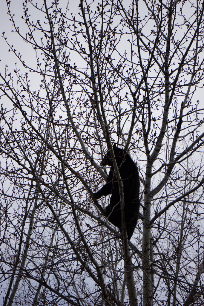 Black Bear high in a tree, stuffing himself on spring buds.