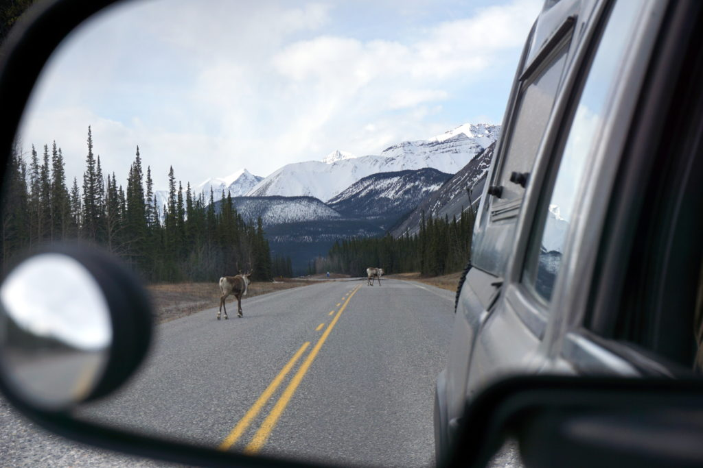 Migrating spring Caribou on the Alcan Highway.